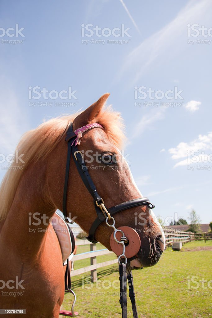 Head Shot Of Chestnut Horse Tacked Up Ready To Ride Stock Photo Download Image Now Istock