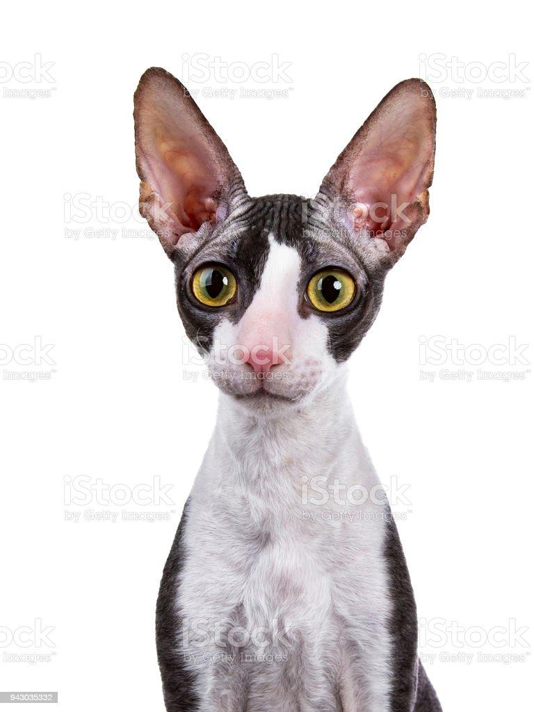 Head shot of Cornish Rex cat / kitten sitting isolated on white background stock photo