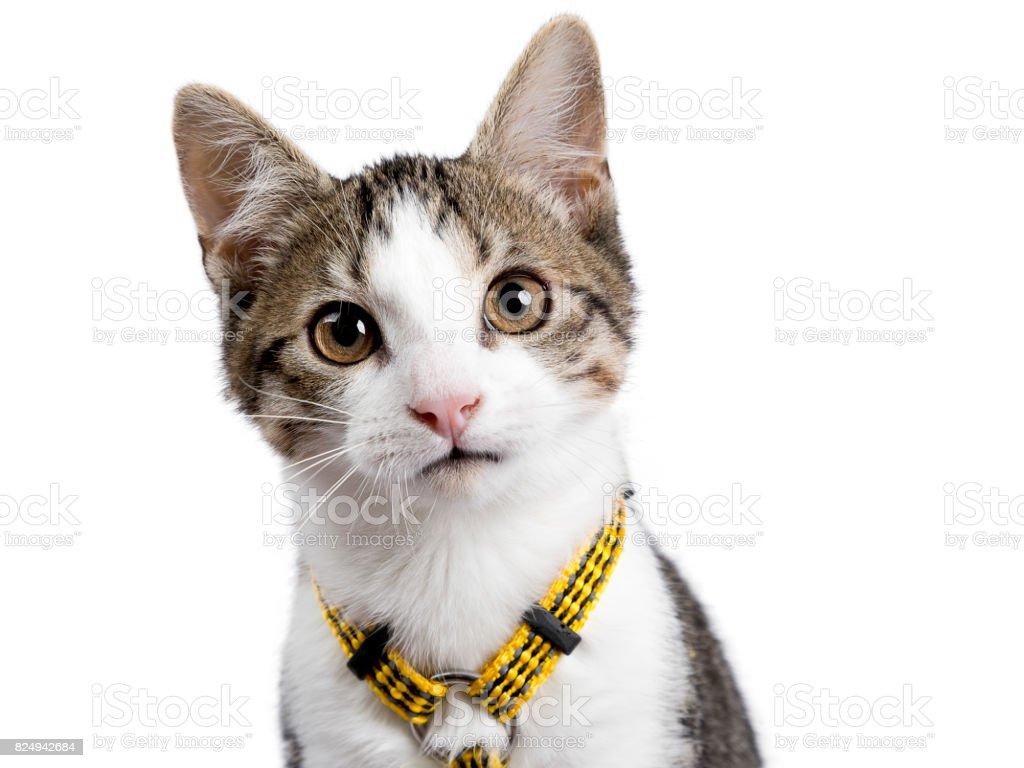 Hoofd geschoten van Europese korthaar kitten / kat geïsoleerd op een witte achtergrond dragen gele spannen en kijken in de camera foto
