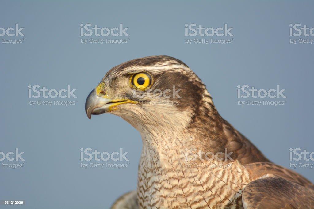 Coup de tête de faucon - Photo