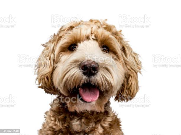 Head shot of golden labradoodle with open mouth and looking straight picture id931470546?b=1&k=6&m=931470546&s=612x612&h=srfeiuamtnhxep4q4xkpdp5nf45pij2hwanah d1fic=