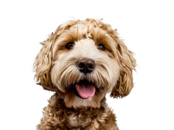 Head shot of golden labradoodle with open mouth and looking straight picture id931470546?b=1&k=6&m=931470546&s=612x612&w=0&h=on0wpj4jnex01se2l7xqyrfwl3ym lrrktygng5qddg=