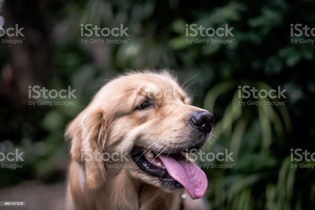 Head shot of Golden Retriever dog puppy stock photo