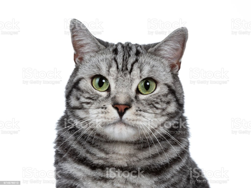 Head Shot Of Handsome Black Silver Tabby British Shorthair Isolated