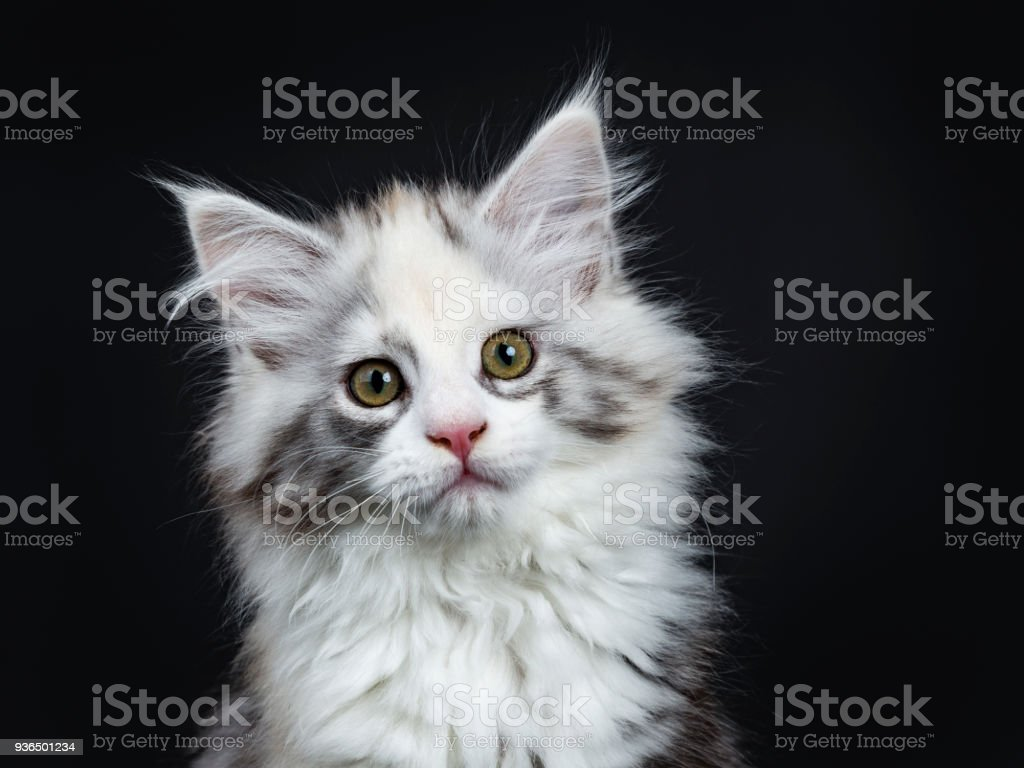 Head Shot Of High White Tortie Maine Coon Girl Kitten With Attitude