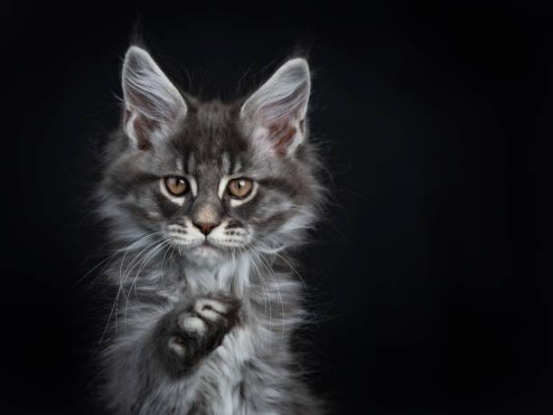 Head shot of impressive blue silver maine coon cat kitten looking at picture id1082319488?b=1&k=6&m=1082319488&s=612x612&w=0&h=iev 1yoi8qrsbqk5dlji02bafcsir3kgiix7rud8jms=