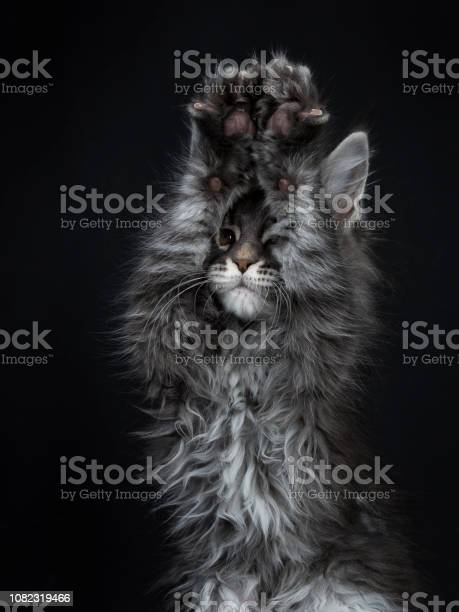 Head shot of impressive blue silver maine coon cat kitten looking in picture id1082319466?b=1&k=6&m=1082319466&s=612x612&h=2suwsnfuxcj0lpny8pvw0m9y4yv5aow4bxscmyvz 1y=