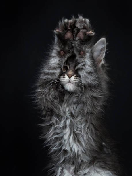 schuss in den kopf des beeindruckenden blau silber maine coon katze kätzchen auf der suche objektiv braune augen und zwei pfoten über kopf in der luft spielen peek ein boo / betteln. auf schwarzem hintergrund isoliert. - grau getigerte katzen stock-fotos und bilder