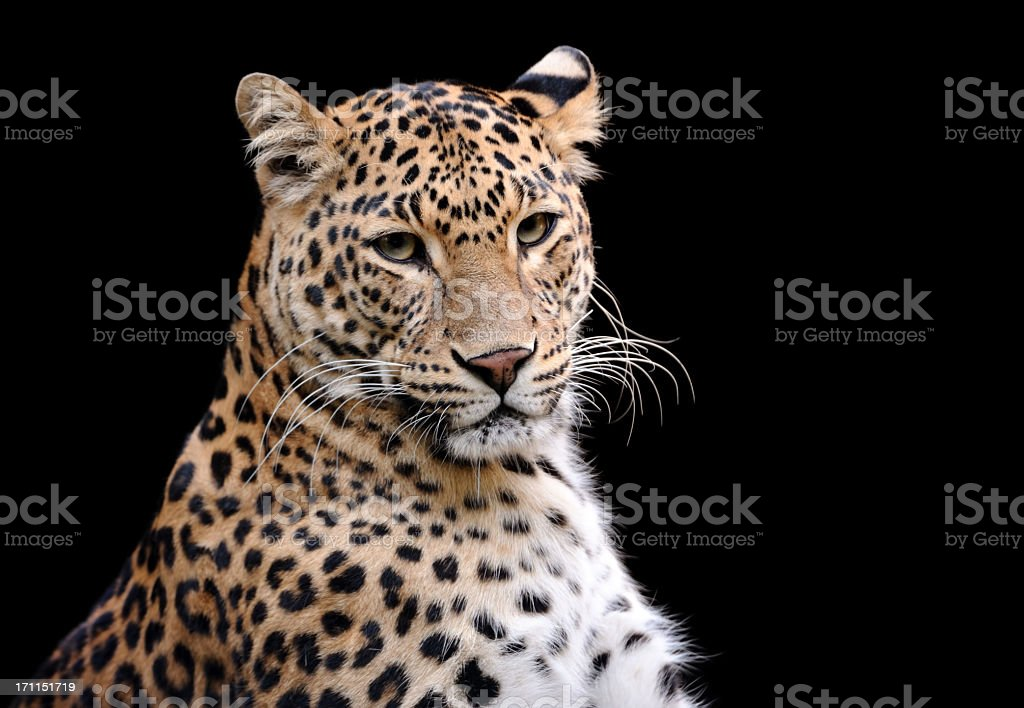 Head shot of leopard against black background stock photo