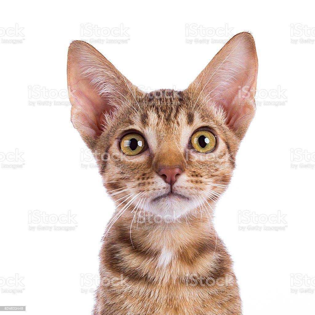 Hoofd geschoten van Ocicat kitten geïsoleerd op witte achtergrond foto