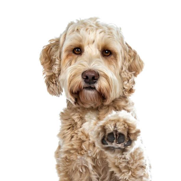chef shot av ganska gyllene vuxen labradoodle hund gör hög fem tass lyfts i luften ser rakt i lins, isolerad på vit bakgrund - animal doodle bildbanksfoton och bilder