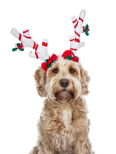 chef shot av ganska gyllene vuxen labradoodle hund iklädd en vit med röda renhorn tittar rakt i lins, isolerad på vit bakgrund - animal doodle bildbanksfoton och bilder