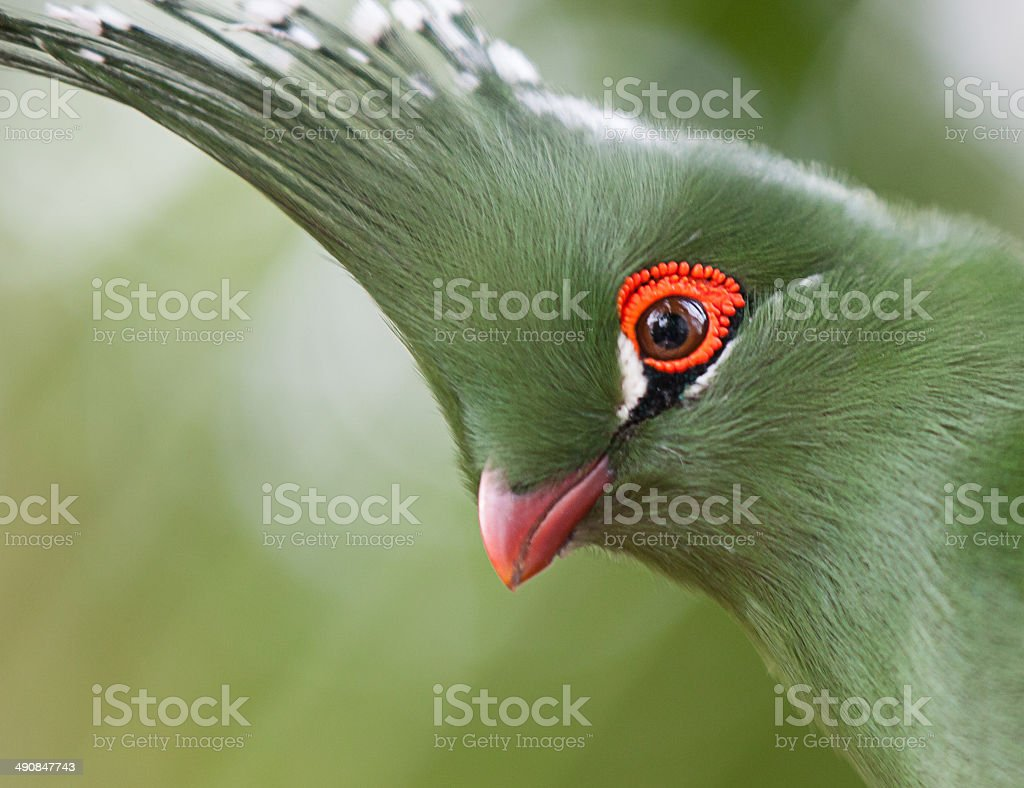 Head shot of Schalow's Turaco (Tauraco schalowi) stock photo