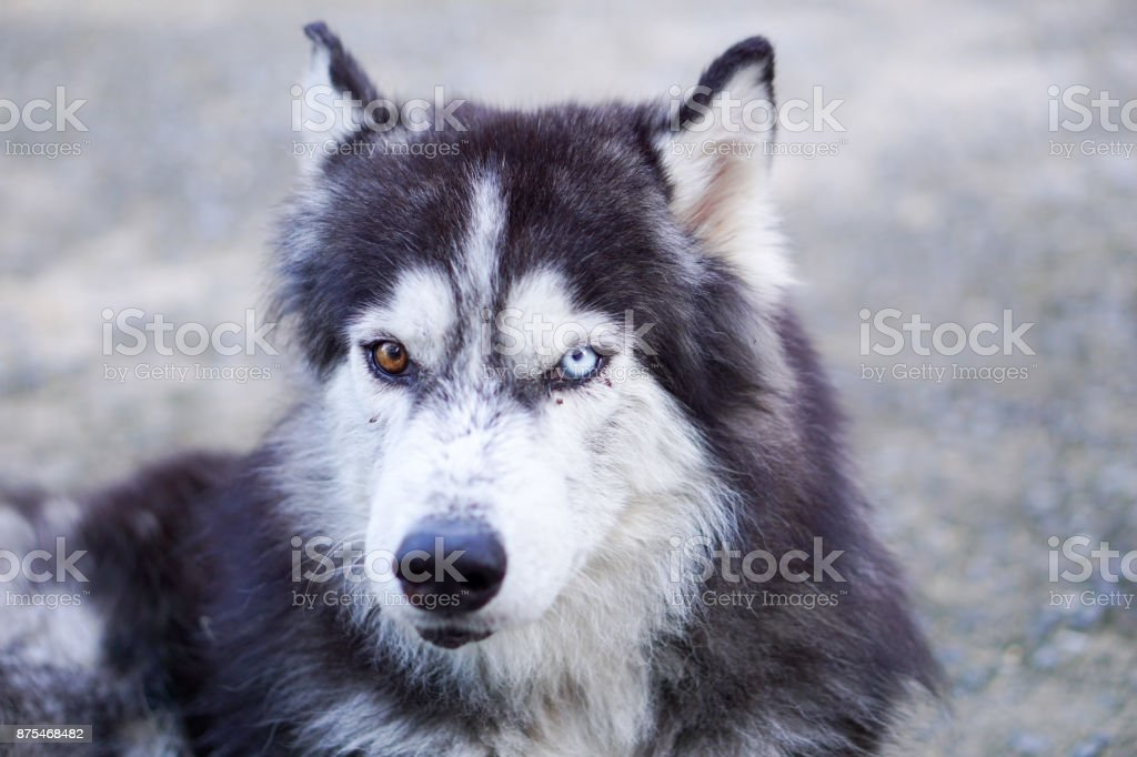 Head Shot of Siberian Husky with Two Different Colored Eyes on Blurred Background stock photo