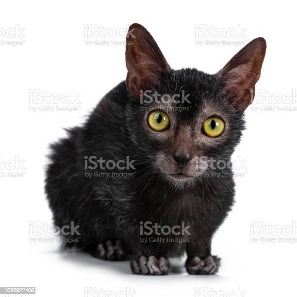 Head shot of sweet young adult lykoi cat kitten laying down front picture id1055922406?b=1&k=6&m=1055922406&s=612x612&h=6xj4xkohzqydoz r2 axoneahfvumhtzjrsjykxkjty=