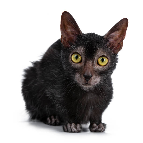 Head shot of sweet young adult lykoi cat kitten laying down front picture id1055922406?b=1&k=6&m=1055922406&s=612x612&w=0&h=0jgyfqaxmqnxwcgi5db2utrsr1xic3 adq1xfldg07s=