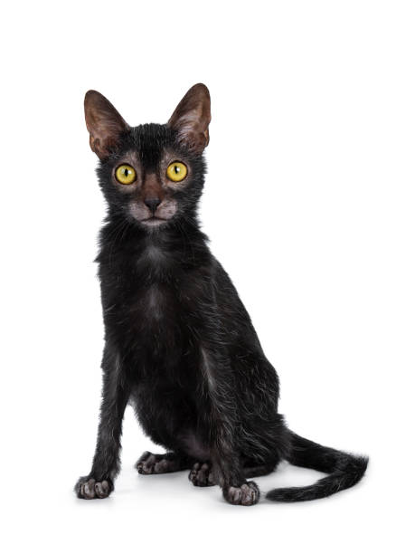 Head shot of sweet young adult lykoi cat kitten sitting front view picture id1055922404?b=1&k=6&m=1055922404&s=612x612&w=0&h=qgf8i0312a9in7pvyk0cxcjfrkq0rpwoos3gkdmnf7g=