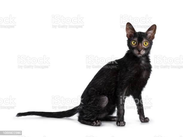 Head shot of sweet young adult lykoi cat kitten sitting side ways picture id1055922390?b=1&k=6&m=1055922390&s=612x612&h=ifhrloaj94gdwj0lfyjpccoo zmyziizgnrestym8tq=