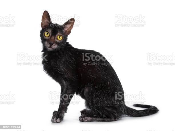 Head shot of sweet young adult lykoi cat kitten sitting side ways picture id1055922414?b=1&k=6&m=1055922414&s=612x612&h=gzhuod0fr55hm 1yzmwcoa4uwnzii6imw2186dazn o=