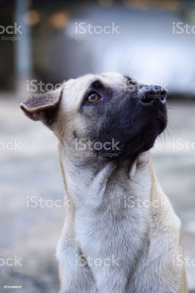 Head Shot of Thai Dog Looking Up to The Sky stock photo