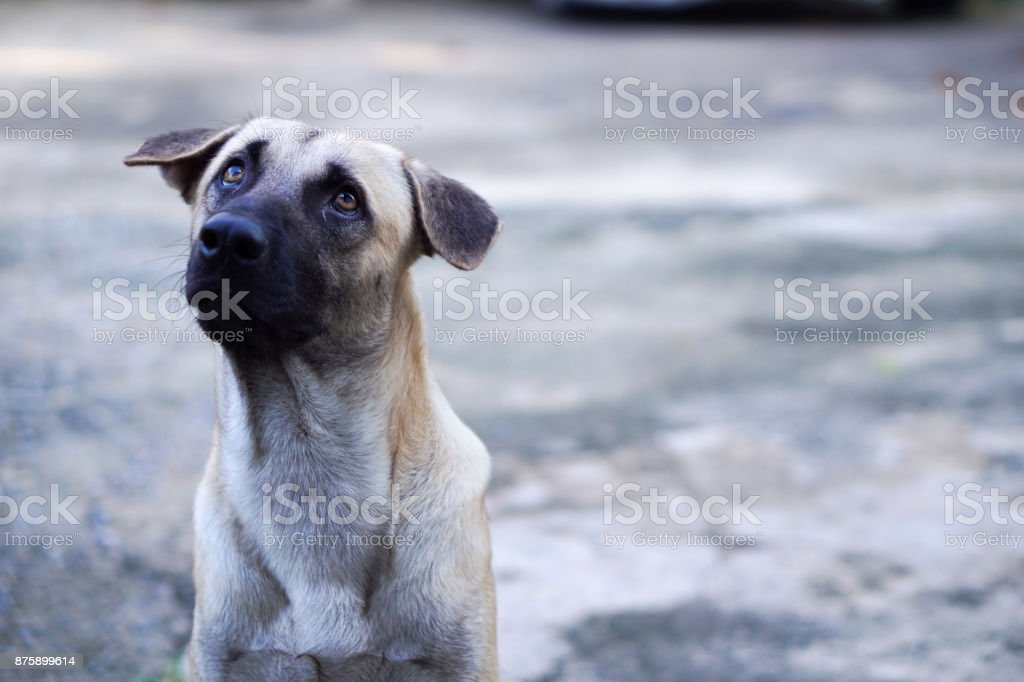 Head Shot of Thai Dog Looking Up to The Sky with Curious Face stock photo