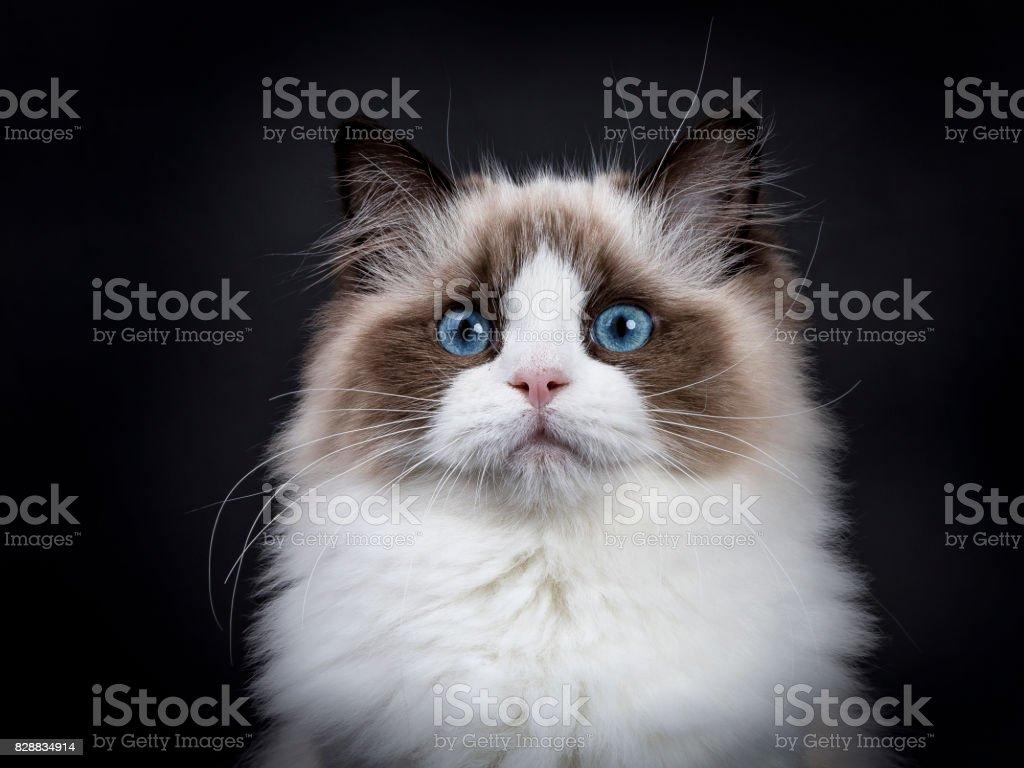 Hoofd geschoten van jonge volwassen Ragdoll kat geïsoleerd op zwarte achtergrond (2) foto