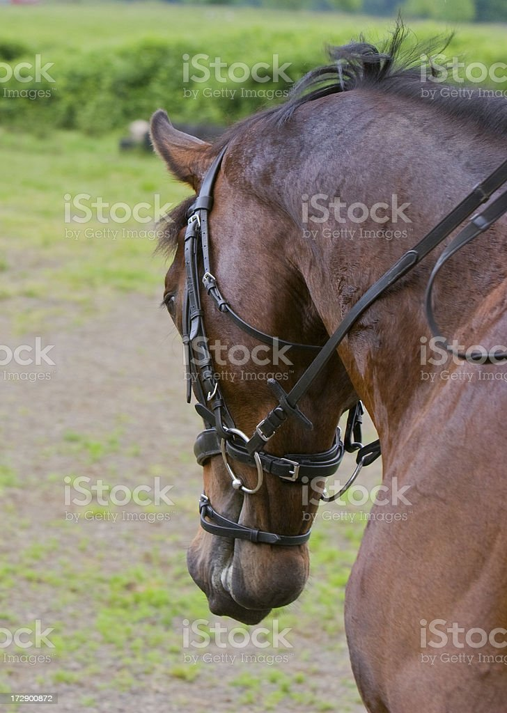 Head Shot with Bridle stock photo