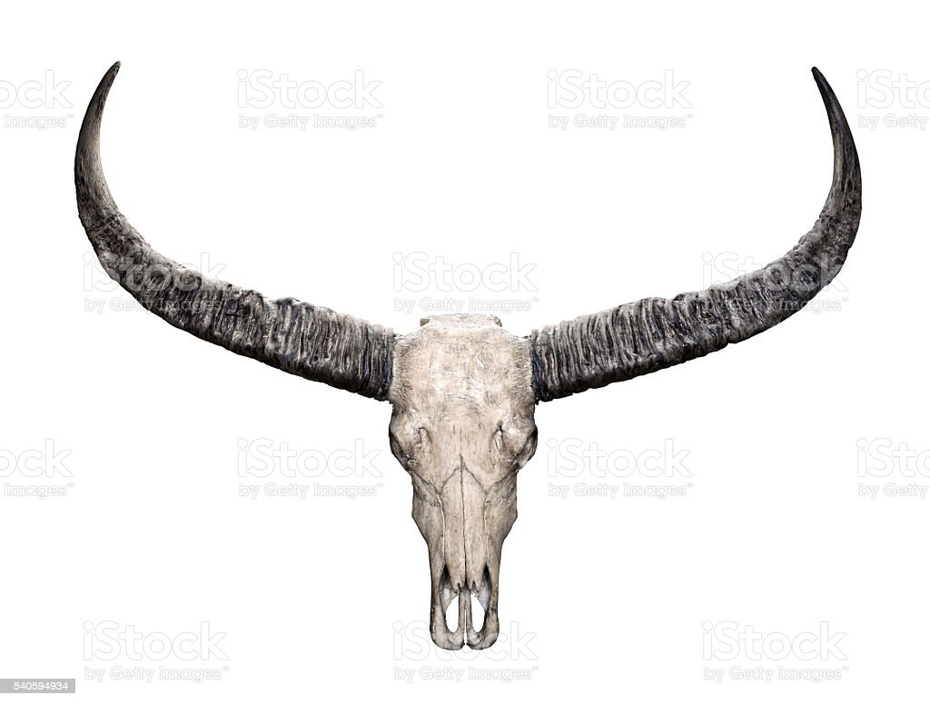 Head skull of wild water buffalo isolated on white background stock photo