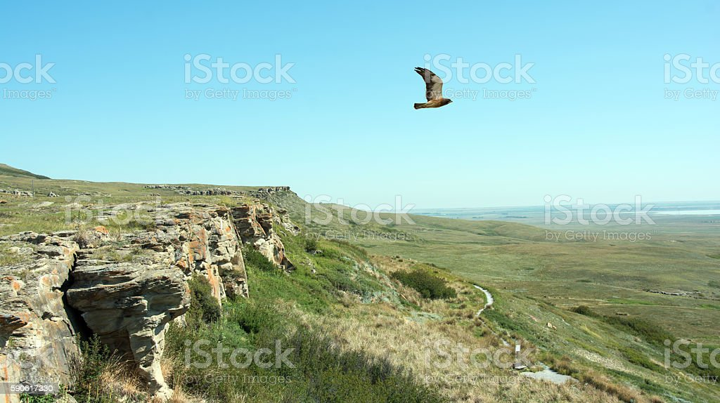 Head Smashed in Buffalo Jump cliffs and hawk - Alberta Head Smashed in Buffalo Jump cliffs and scenery - Alberta, Canada. This is where the early First Nation people ran the bison over the cliffs. A hawk is flying over the area. Alberta Stock Photo