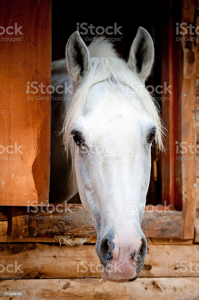 head white racehorse looks out of the window stall stock photo
