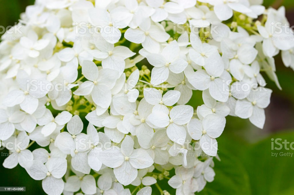 Head with small flowers blooming white hydrangea, garden flower...