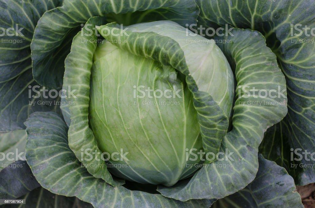 Headed cabbage Lizenzfreies stock-foto