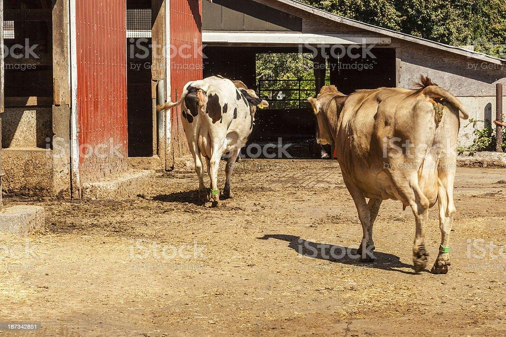 Headed to the Barn royalty-free stock photo