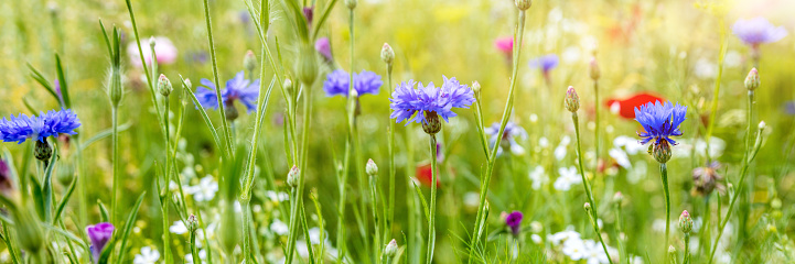 Header with native wildflowers, natural habitat for insects, cornflowers and poppies