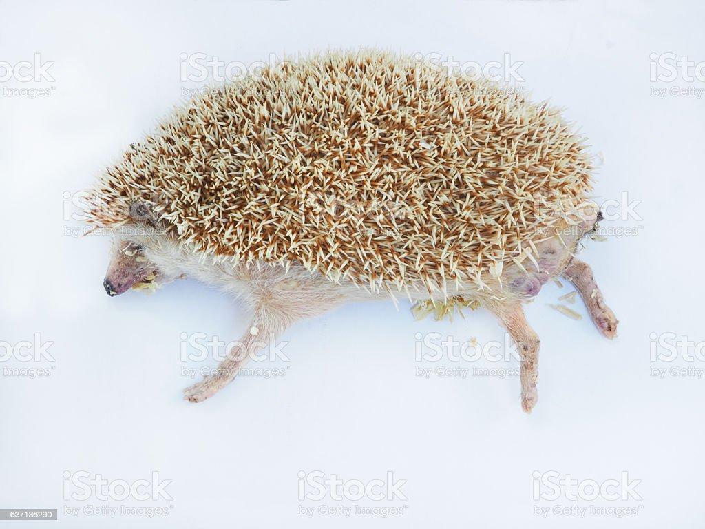 headge hog dead stock photo