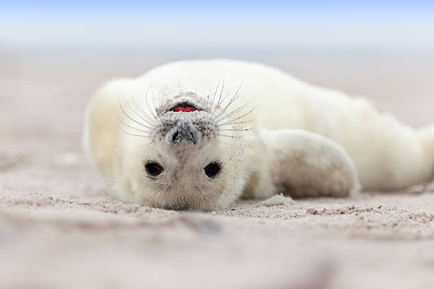headlong Baby Grey Seal (Halichoerus grypus) Relaxing headlong on the Beach seal pup stock pictures, royalty-free photos & images