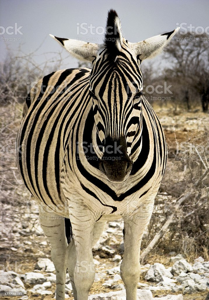 Headlong view of zebra stock photo