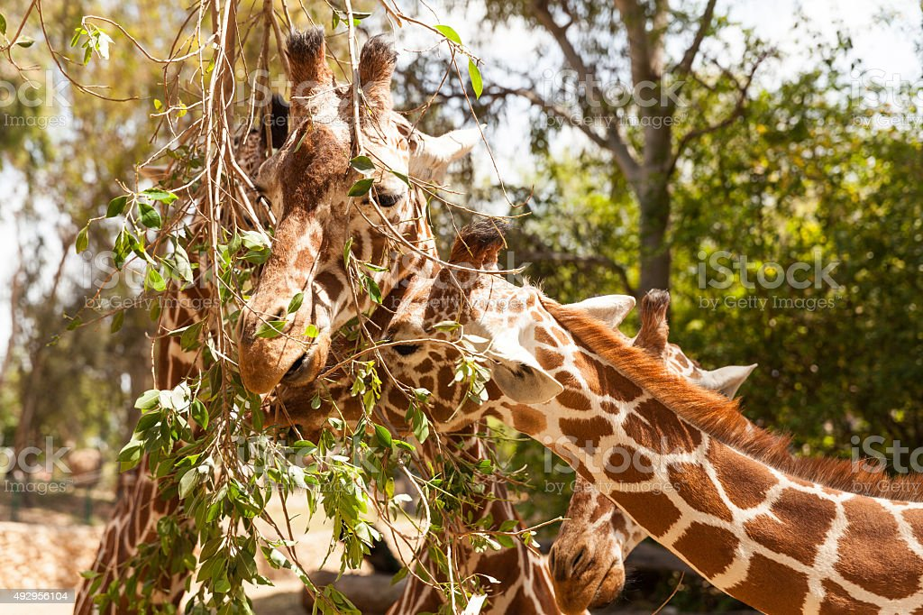 Heads of giraffes before green trees stock photo