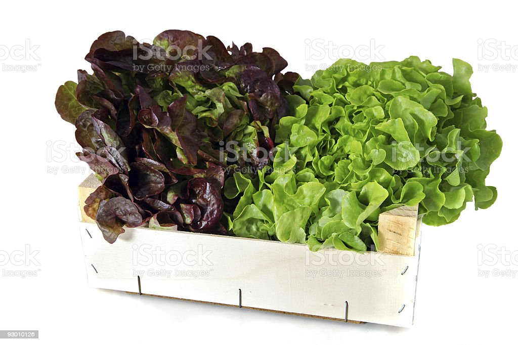 Heads of lettuce royalty-free stock photo