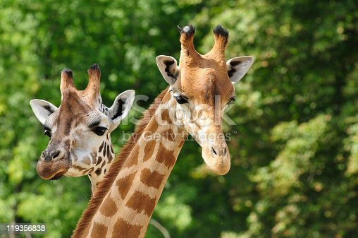 istock Heads of two giraffes in front of green trees 119356838