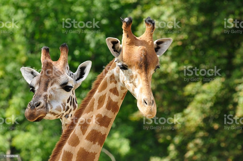 Heads of two giraffes in front of green trees stock photo