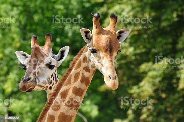 Heads Of Two Giraffes In Front Of Green Trees Stock Photo - Download Image Now