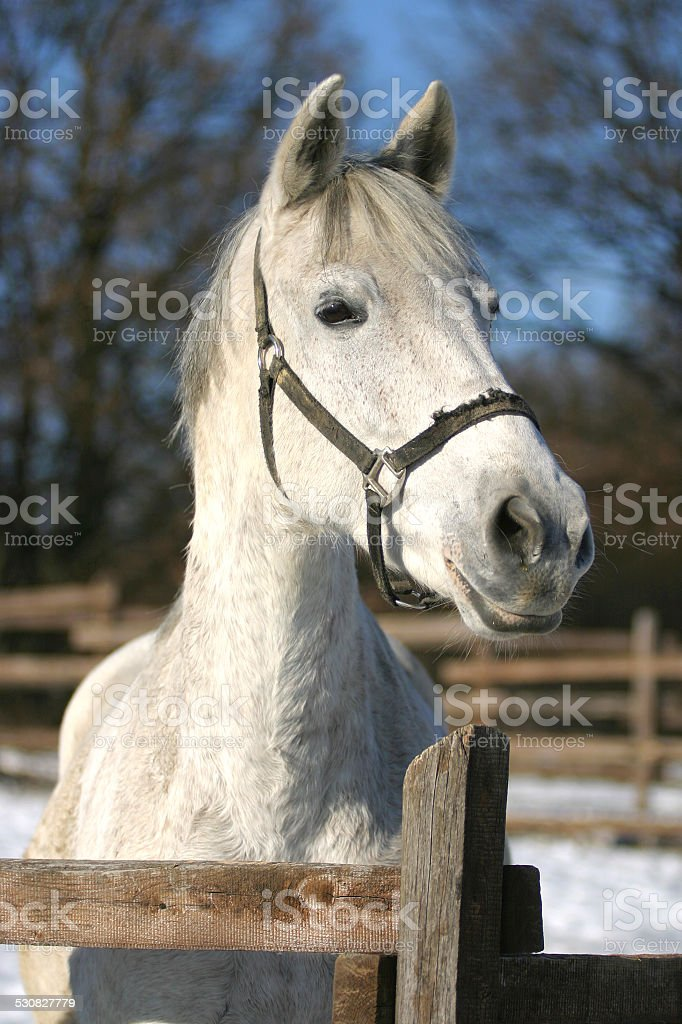 Headshot of a beautiful grey horse in sunny wintertime stock photo