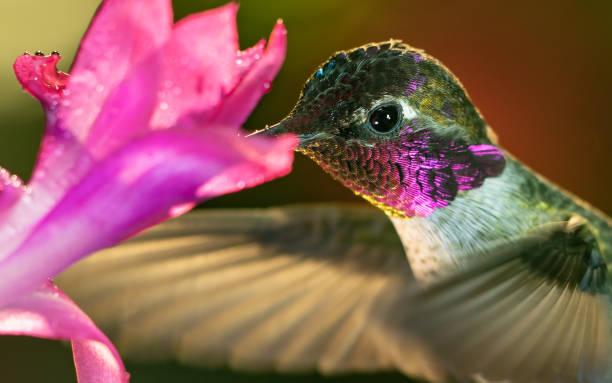 Headshot of a beautiful male hummingbird visiting pink flower stock photo