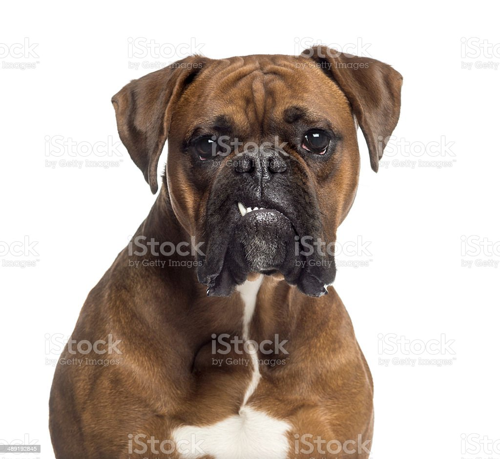 Headshot of a Boxer (10 months old) stock photo