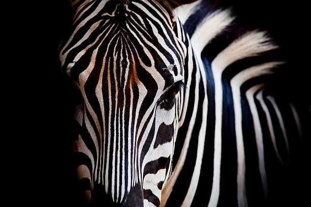 headshot of a burchell's zebra - zebra stock photos and pictures