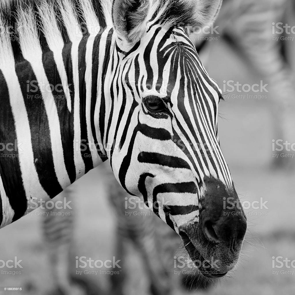 Headshot of a Burchell's Zebra stock photo