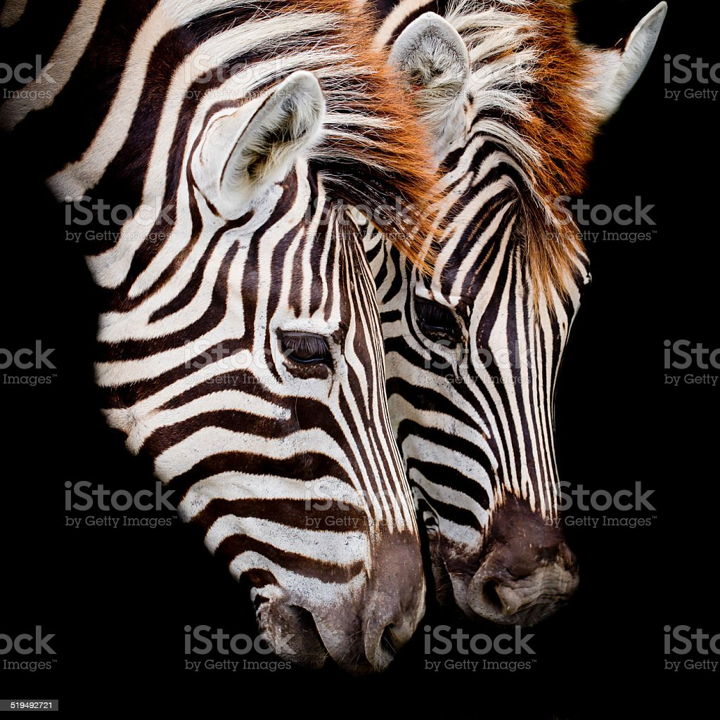 Headshot of a Burchell's Zebra stock photo
