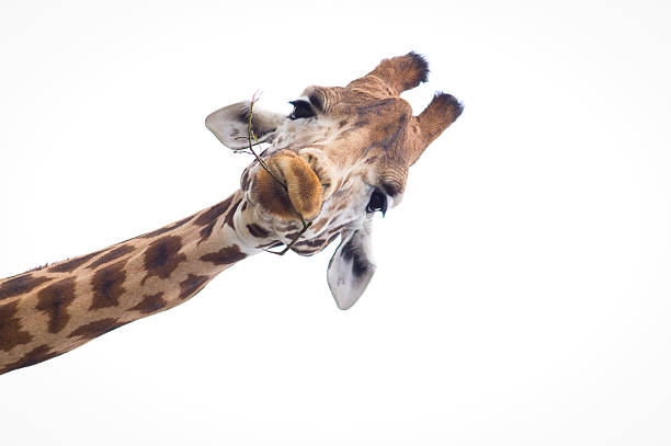 headshot of a giraffe with a white background - giraffe stock photos and pictures
