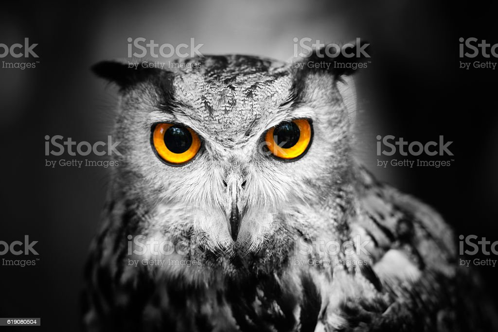 Headshot of a great horned owl stock photo